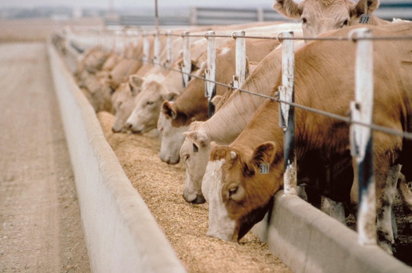 Thức ăn gia súc